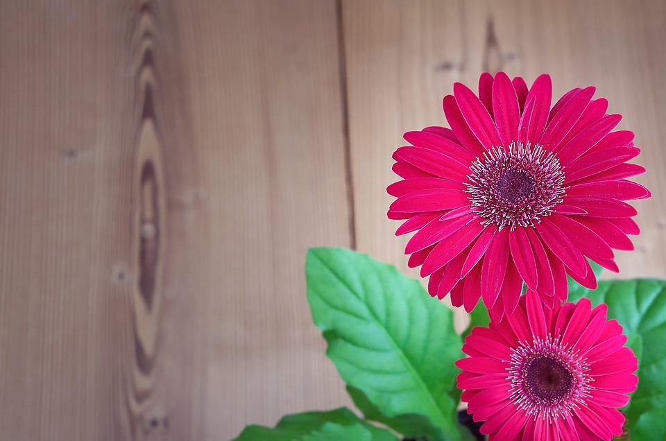 Gerbera, Flower, Blossom, Bloom, Pink, Petals, Plant
