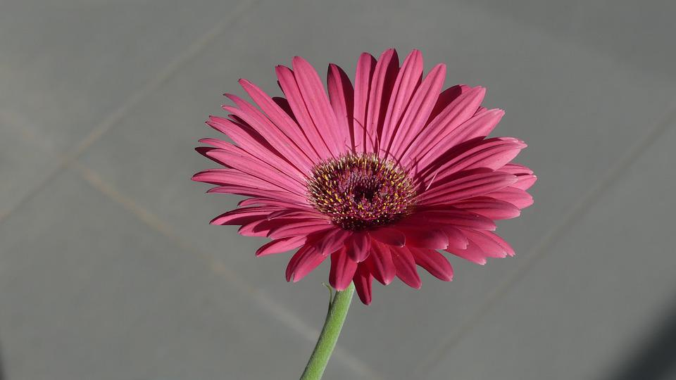 Gerbera, Flower, Pink, Blossom, Plant, Nature, Petals