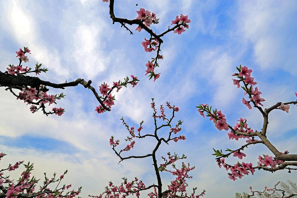 Peach Blossom, The Scenery, Branch, Pink Petals, Spring