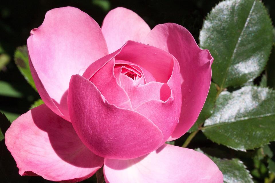 Pink, Rose, Flower, Petals, Plant, Pink Rose