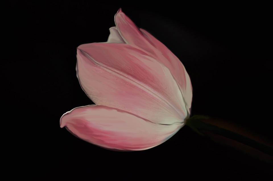 Tulip, Pink, Flower, Petals