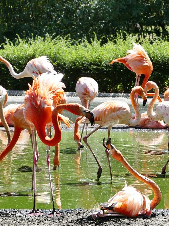 Flamingo, Flamingos, Pink, Bird, Zoo, Pink Flamingo