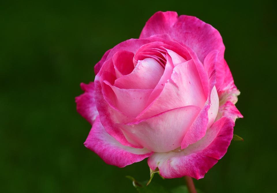 Pink, Rose, Petals, Flower, Pink Rose, Pink Petals