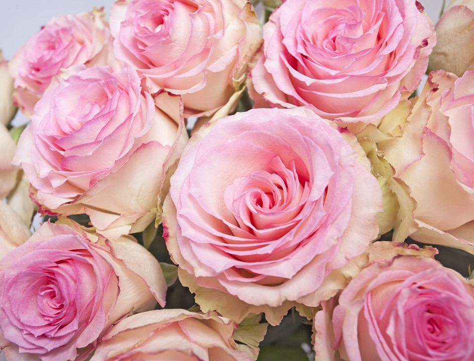 Roses, Flower, Rose, Flowers, Pink Rose, Pink