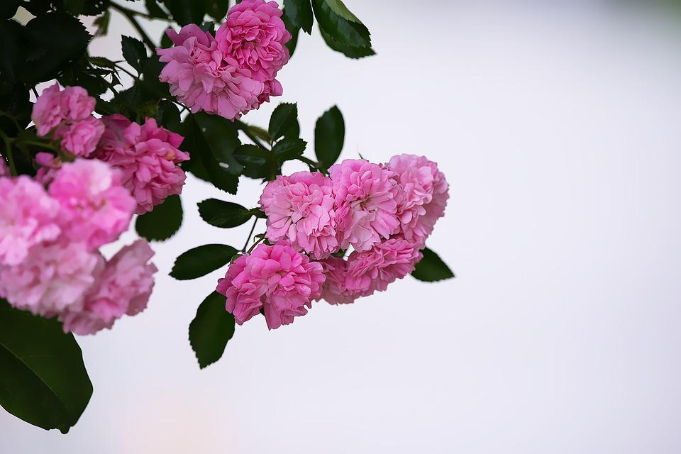 Roses, Pink, Pink Roses, Flowers, Pink Flowers, Garden