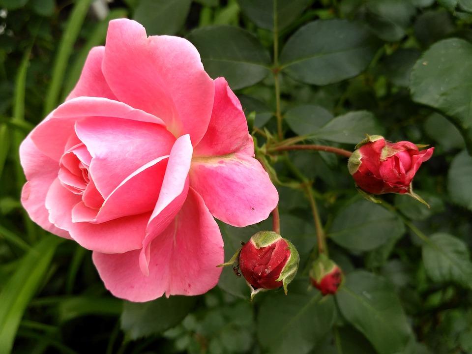 Rose, Pink, Rosebud, Summer Flower, Pink Roses, Petals