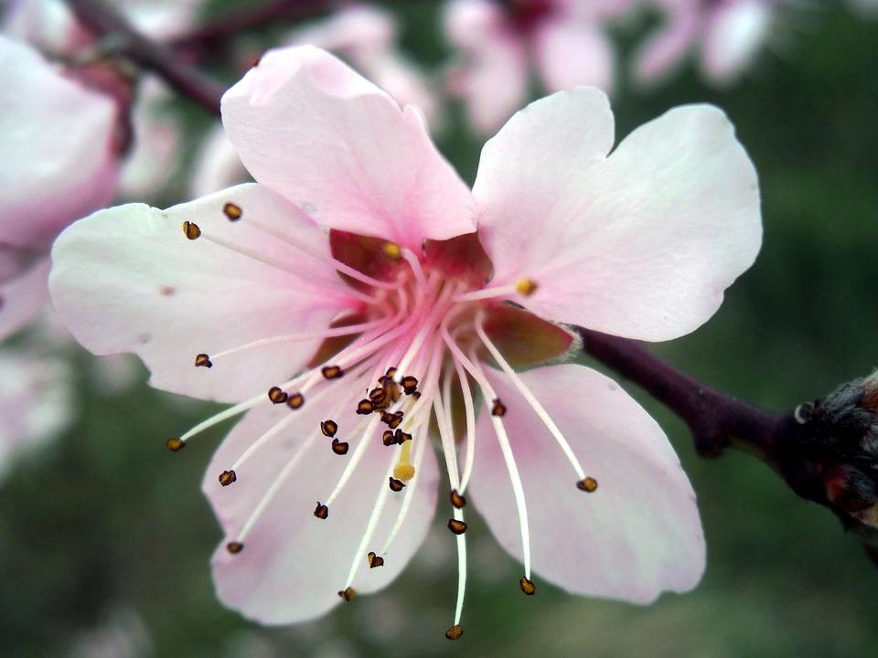 Flower, Plant, Nature, Tree, Petal, Pink, Pistil