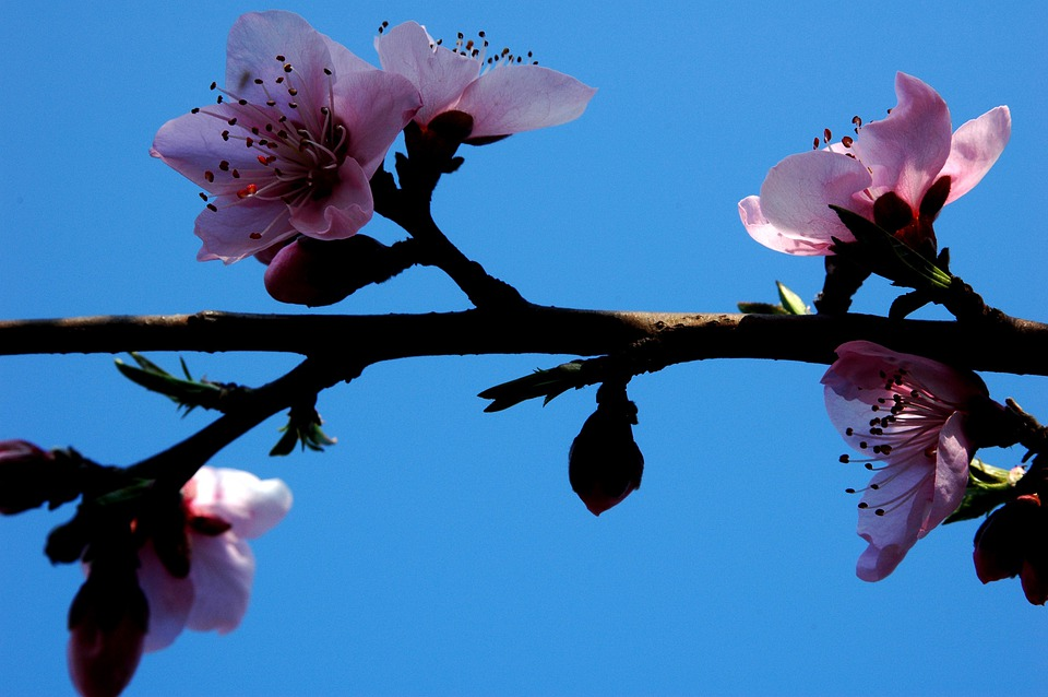 Plum Blossom, Pink, Branches, Blue, Sky, Pistil, Sweet