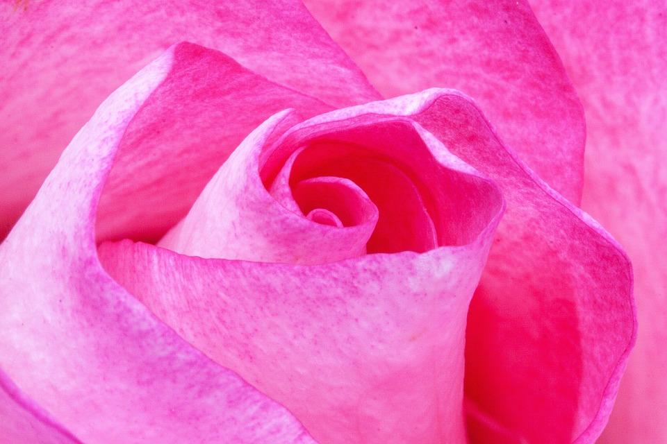 Rose, Pink, Roses, Flora, Plant, Tender, Red, White