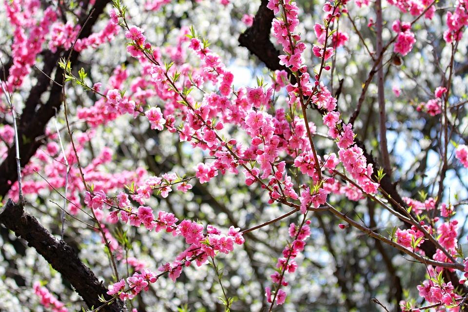 Ume, Plum, Flower, Japan, Japanese, Spring, Pink, Plant