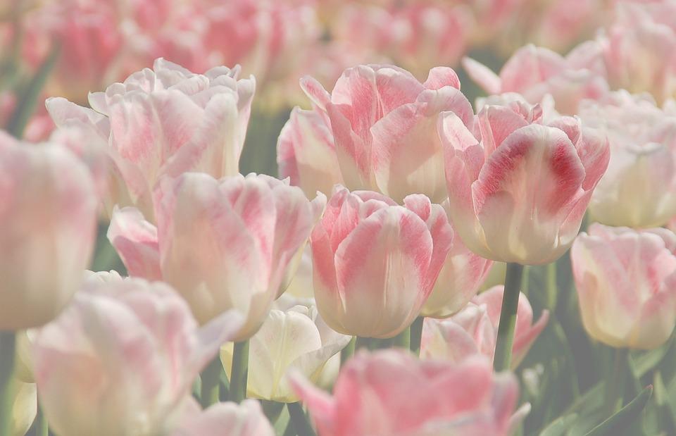 Plant, Nature, Tulip, Flowers, Petal, Bloom, Pink, Soft