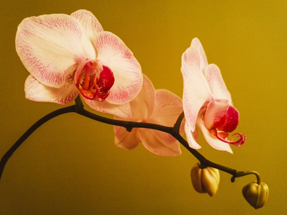 Orchid, Bloom, Flowers, Phalaenopsis, Plant, Pink