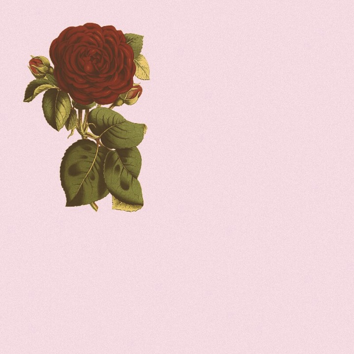 Picture, Background, Rose, Pink, Plant, Art, Red, Green