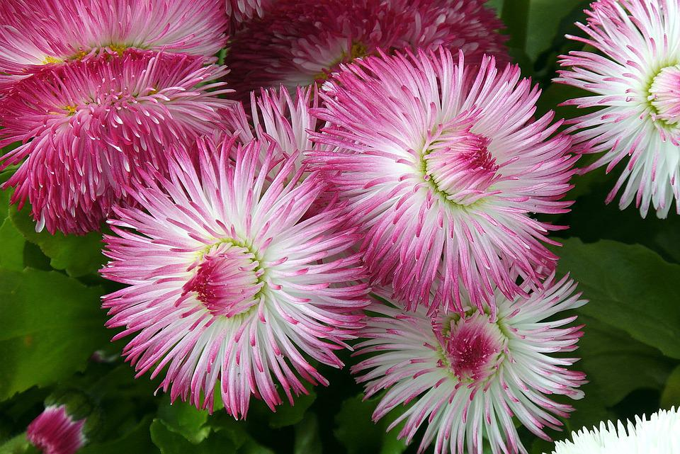 Daisies, Flowers, Pink, Shade Of Pink, Nature, Plants