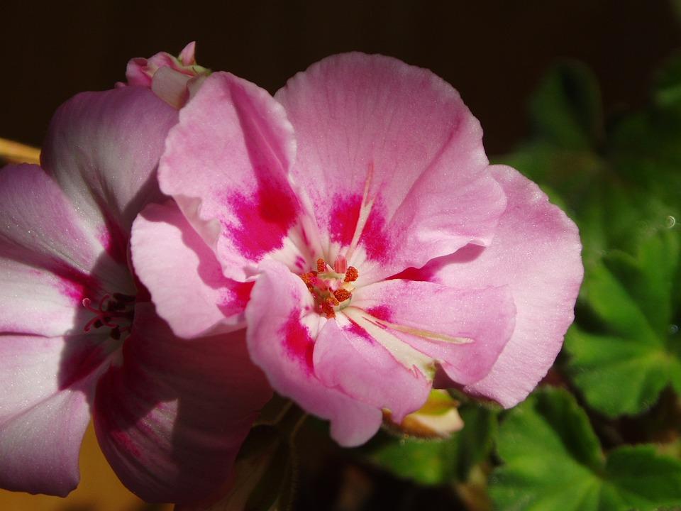 Cyclamen, Flowers, Pink, Plants, Winter