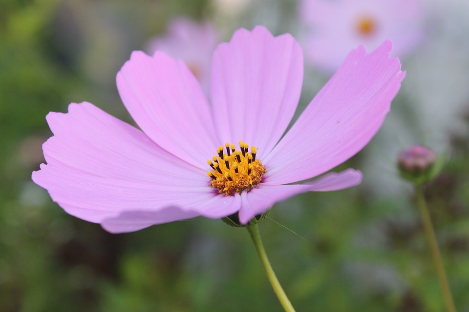 Free photo pink plants nature garden cosmos flowers kosm max pixel kosm flowers pink plants cosmos garden nature mightylinksfo Image collections