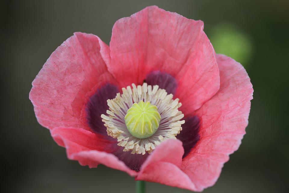 Free Photo Pink Poppy Flower Bloom Blossom Nature Pink Poppy Max Pixel