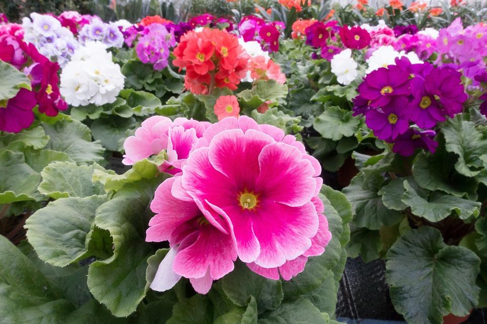Primroses, Primula Vulgaris Hybrid, Pink, Violet