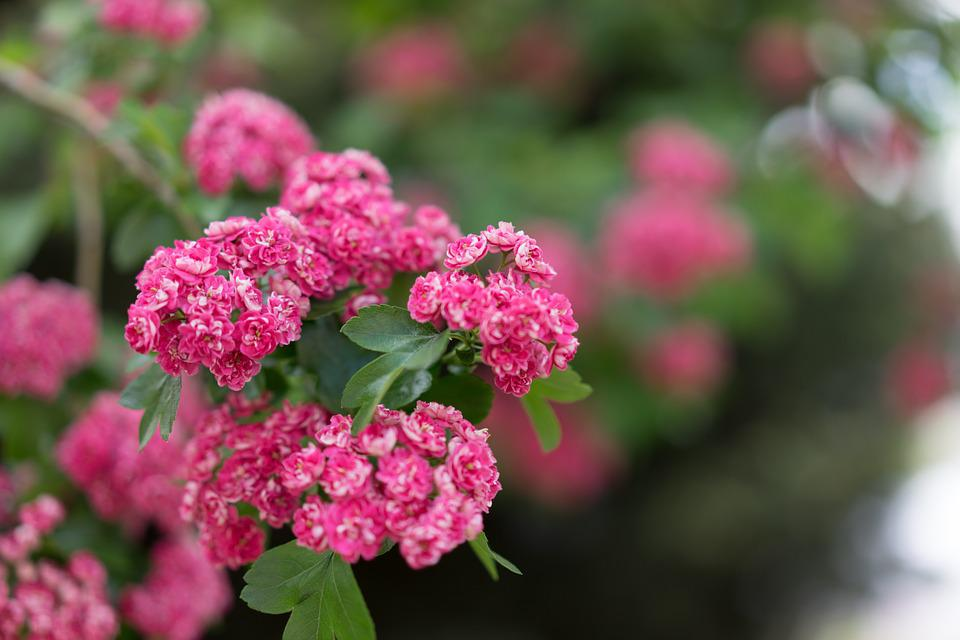 Free photo pink purple flowers red blossoms flowering tree max pixel flowering tree blossoms pink purple red flowers mightylinksfo