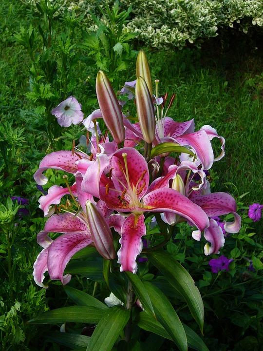 Purple, Pink, Flower, Garden