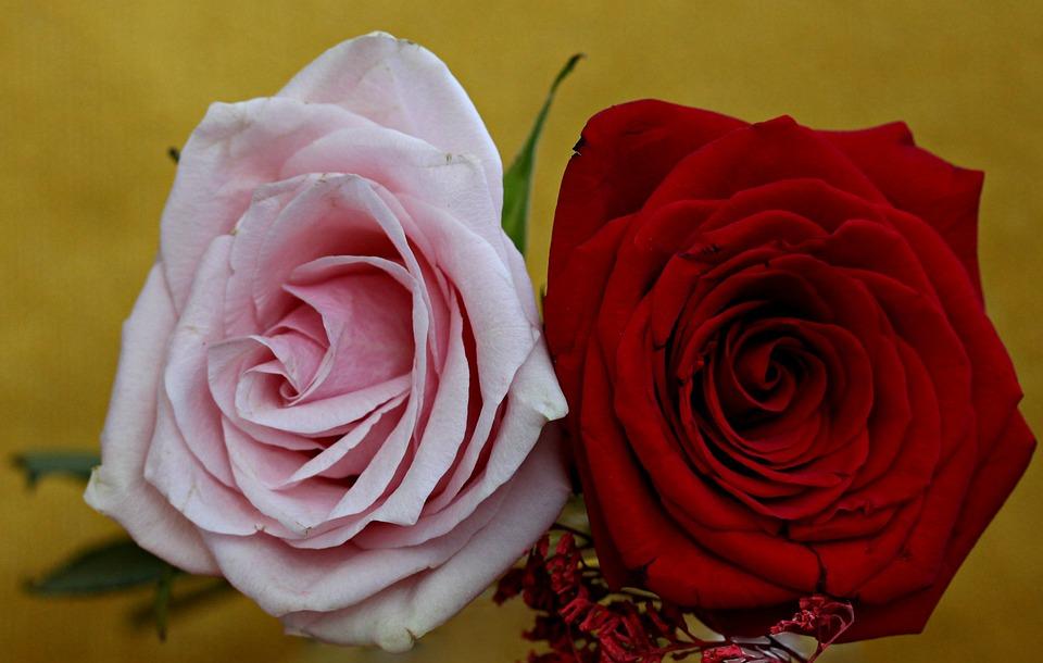 Rose, Red, Pink
