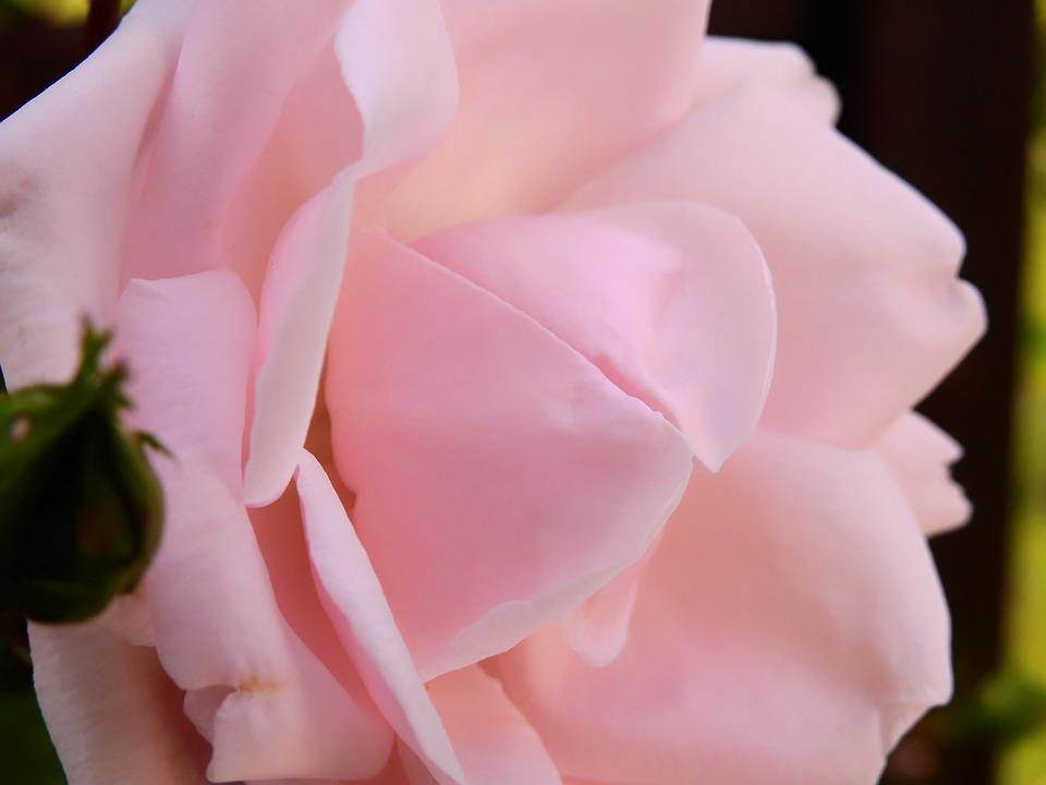 Rose, Flower, Rose Blooms, Blossom, Bloom, Pink Rose