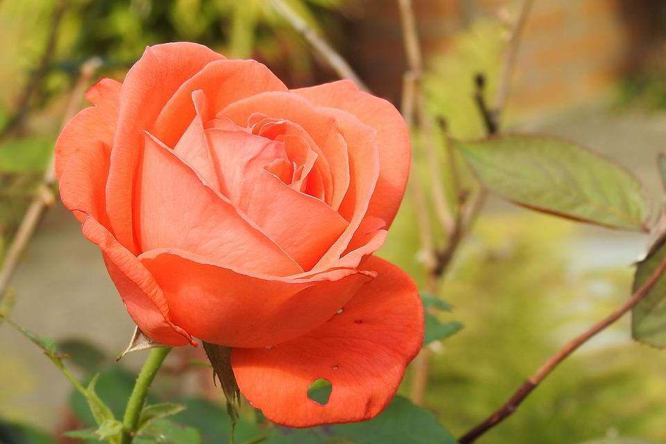 Rose, Rose Bloom, Pink, Pink Rose