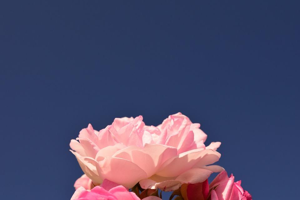 Rose, Rose Pink, Pink Rose, Flower, Blossom, Bloom