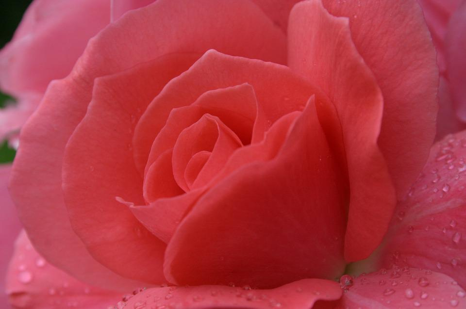 Rose, Drop Of Water, Close, Pink