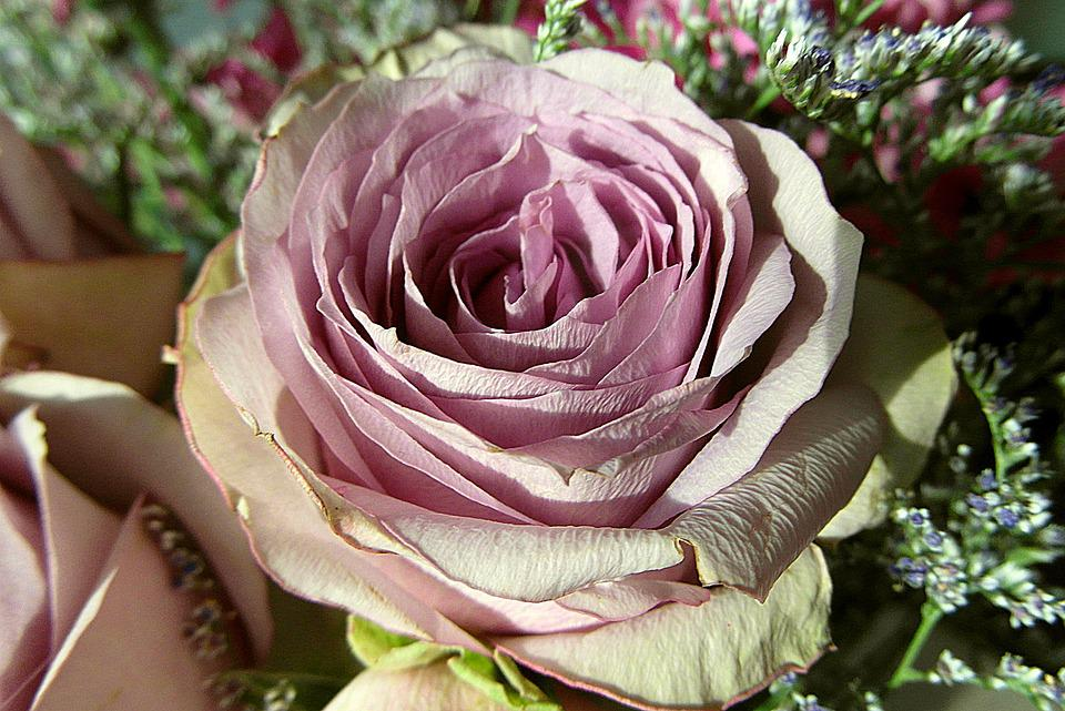 Rose, Flowers, Color, Pink, Clear, Card, The Petals