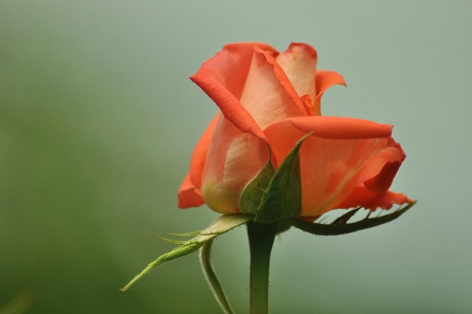 Bud, Rose, Pink, Blue, Bloom, Nature, Beautiful, Flower