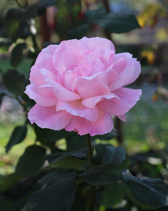 Pink, Rose, Flower, Bloom, Nature, Garden