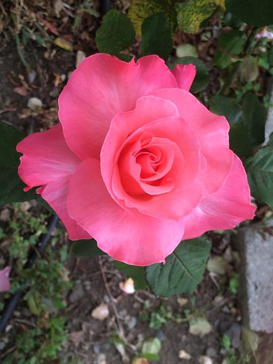 Pink Rose, Garden, Flower