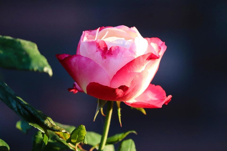 Rose, Pink, Red, Light, Tender, Rose Bloom, Pink Rose