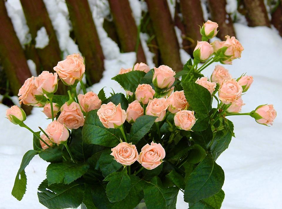 Flower, Nature, Pink Rose, Winter, Snow