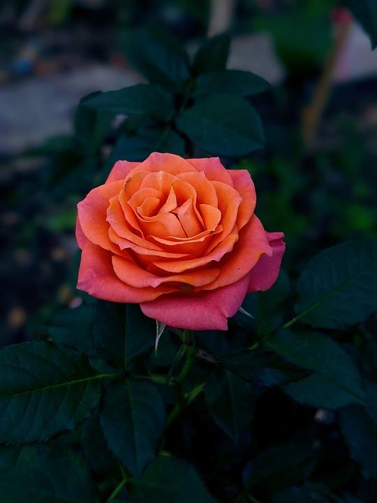 Flower, Pink Rose, Pink Flower, Garden, Nature
