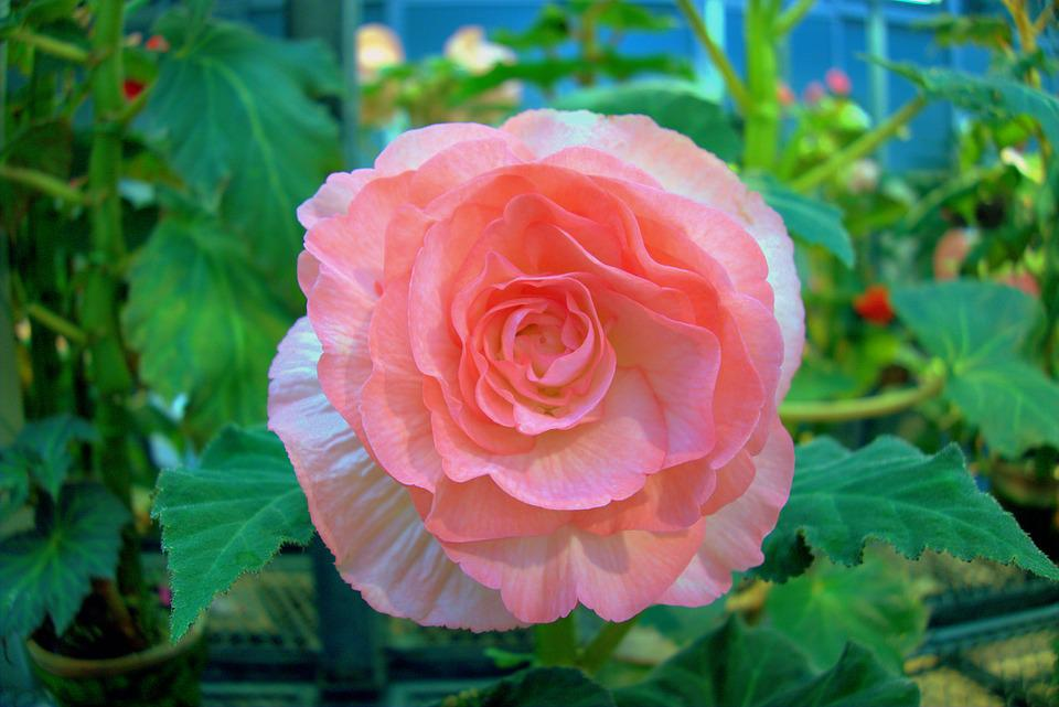 Rose, Flowers, Pink, Garden, Plant