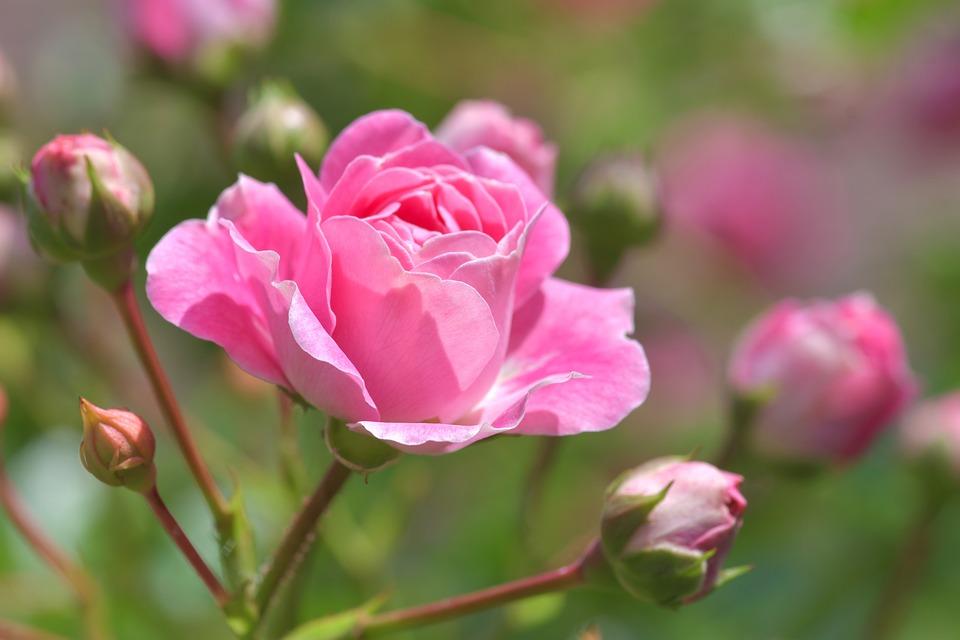Pink, Flower, Pink Rose, Rosebush, Garden, Plant