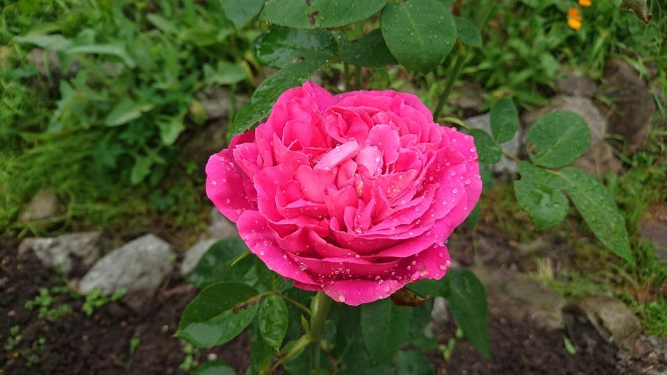 Rose, Pink Rose, After The Rain, Rain, Drops, Damp, Wet