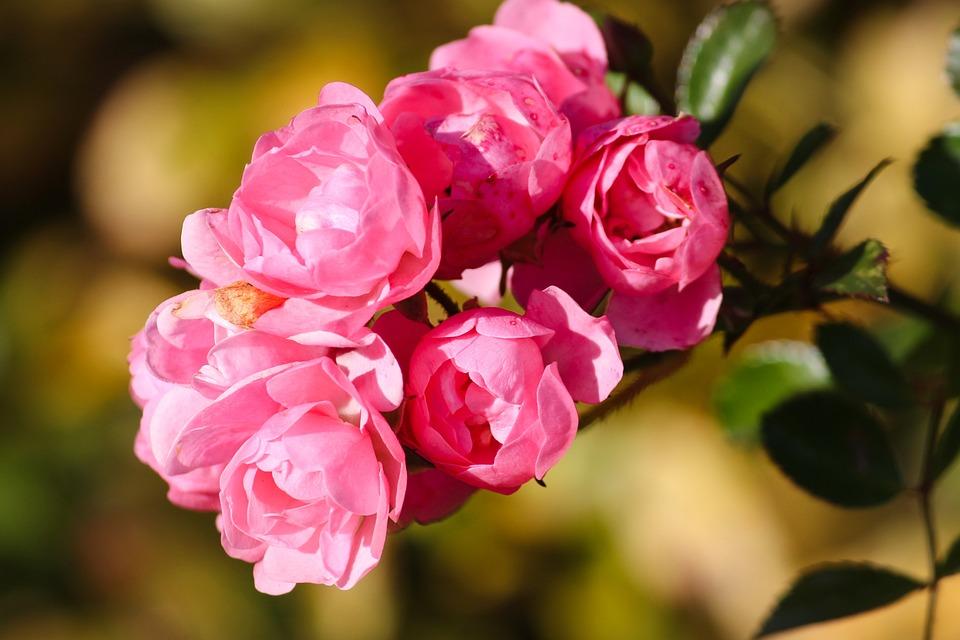 Roses, Pink, Rosebush, Shrub Roses, Flowers, Nature