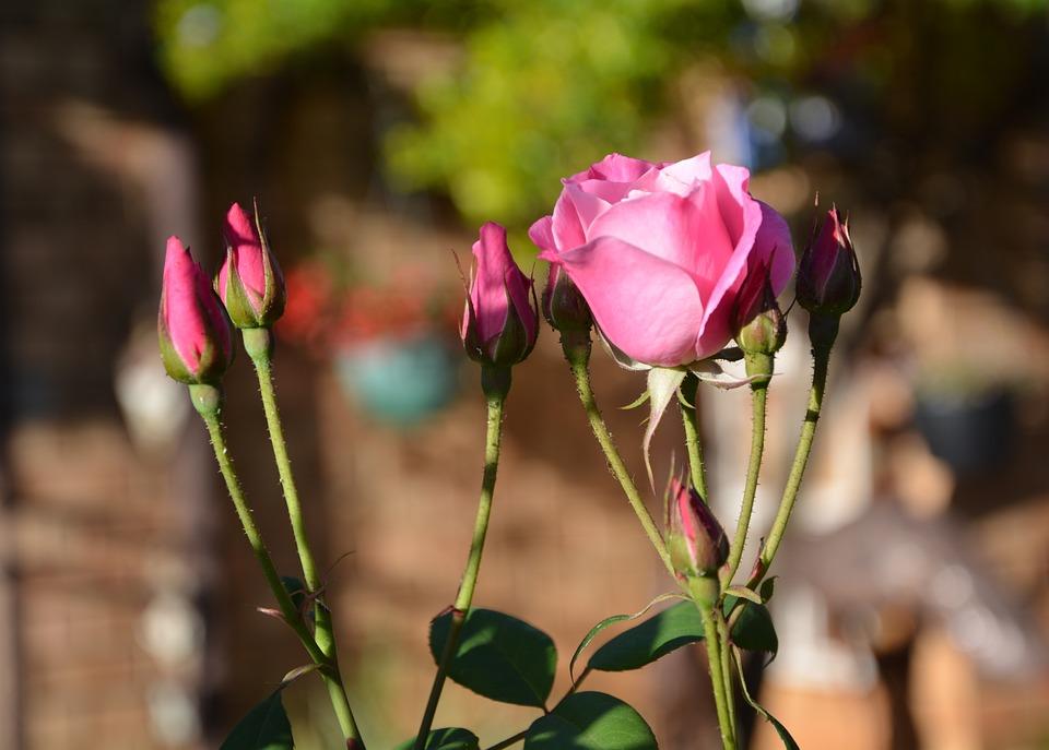 Iceberg, Pink Roses, Buds, Spring