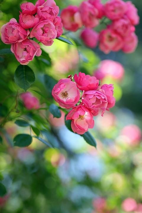 Roses, Pink Roses, Flowers, Pink Flowers, Petals
