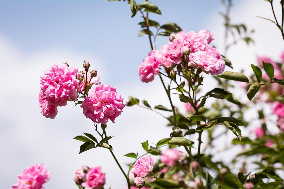 Roses, Flowers, Pink, Pink Roses, Pink Flowers, Garden