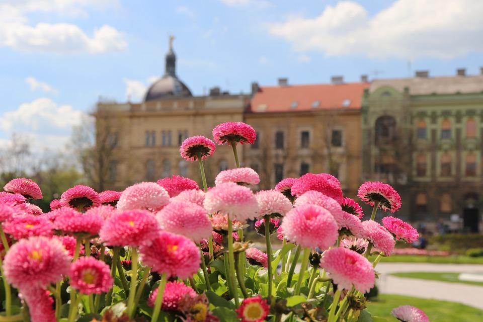 Spring Flowers, Daisy, Bellis Perennis, Pink, Blossom