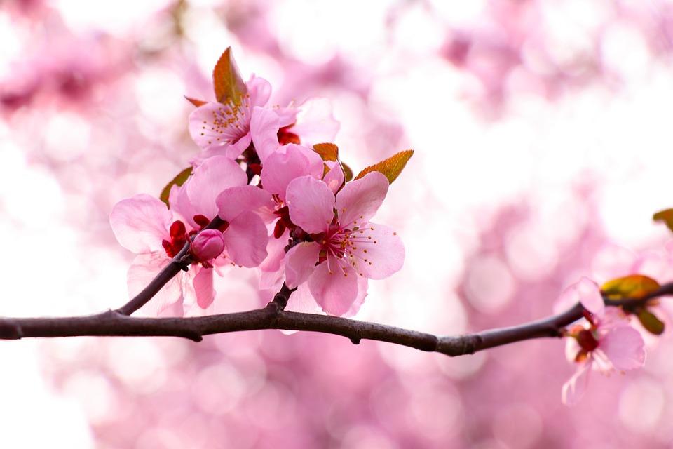 Peach Blossom, Spring, Pink, Garden, Tree, Romantic