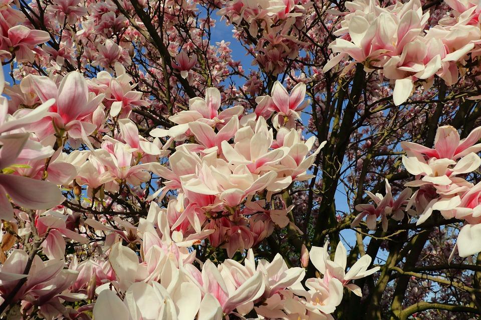 Free photo pink spring magnolia tree blossom magnolia plant max pixel magnolia magnolia tree spring pink plant blossom mightylinksfo