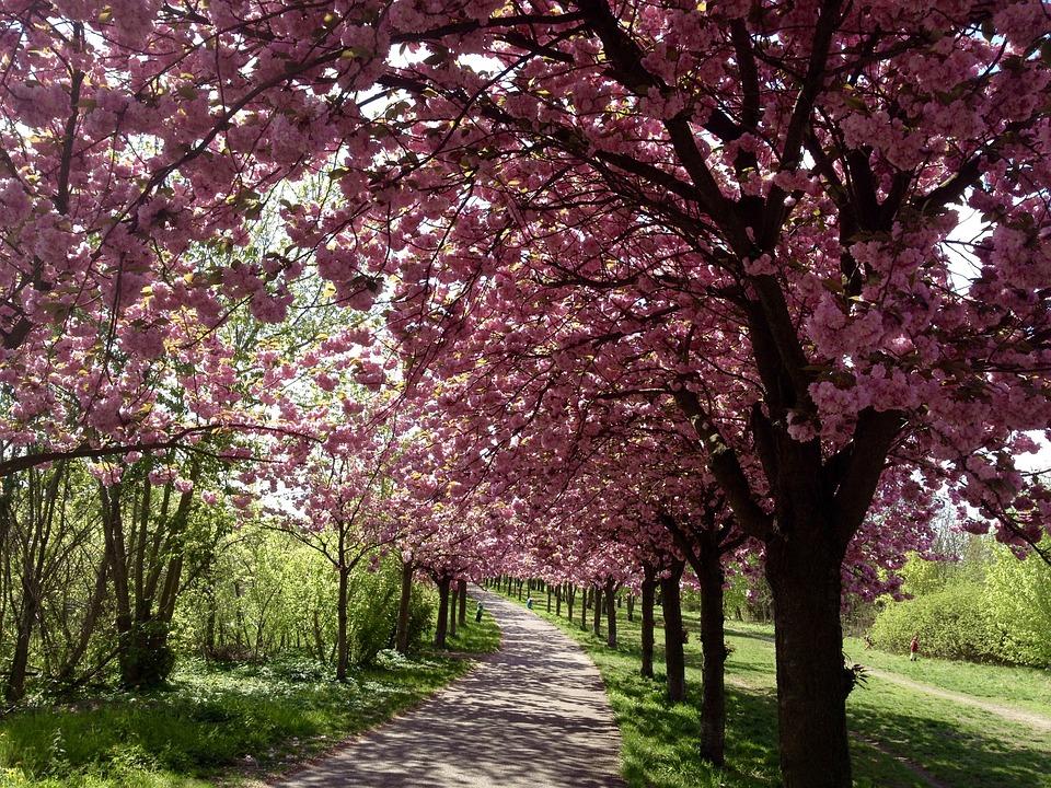 Cherry Blossom, Berlin, Bloom, Spring, Pink, Mauerpark