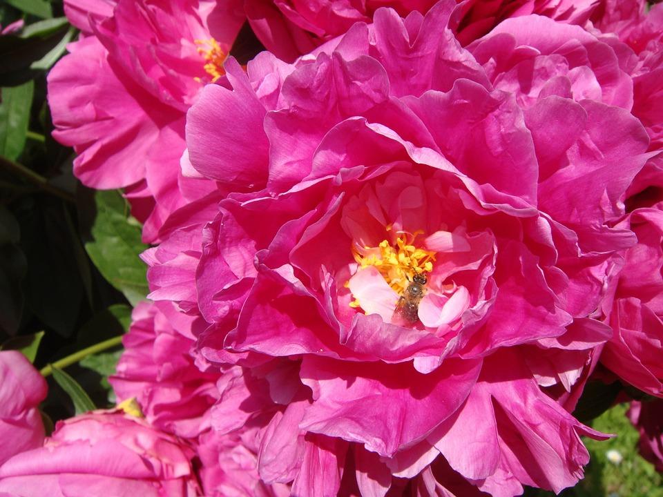 Peony, Flower, Peony Rose, Spring, Petals, Pink