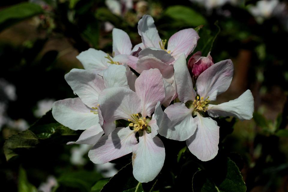 Apple Blossom, Flowers, White, Pink, Stamens