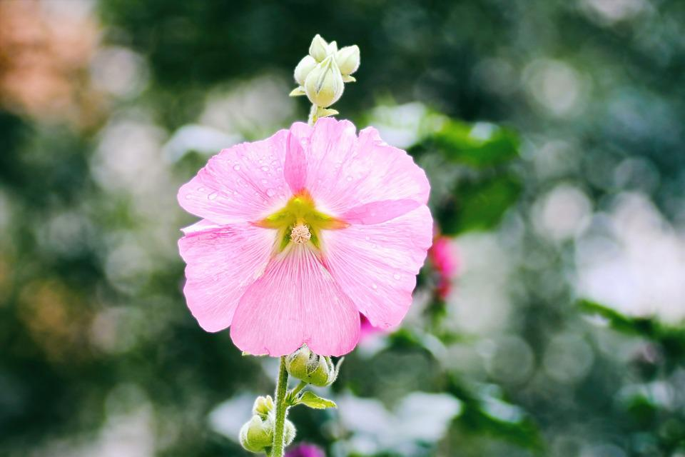 Mallow, Stock Rose, Pink, Hollyhock Flower, Summer